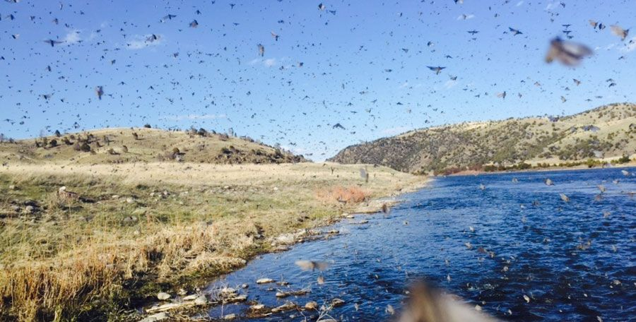 may fly fishing mothers day caddis hatch